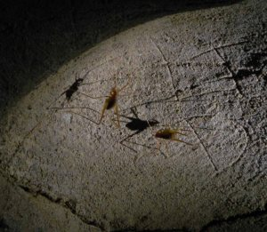 Cave crikets